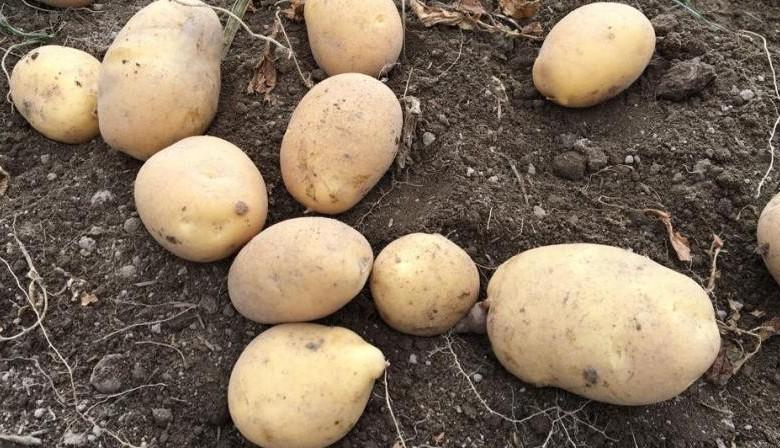 Patatas 04